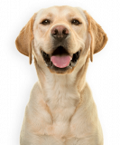 happy-yellow-lab-isolated-e1551389547562.png